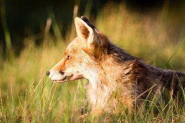 Fuchs bei Sonnenuntergang von Marcel Alsemgeest