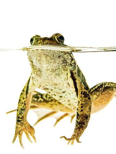 Grüner Frosch im Wasser auf einem weißen Hintergrund