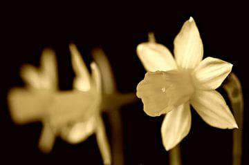 Narzissen; Frühlingsblumen von Jessica Berendsen