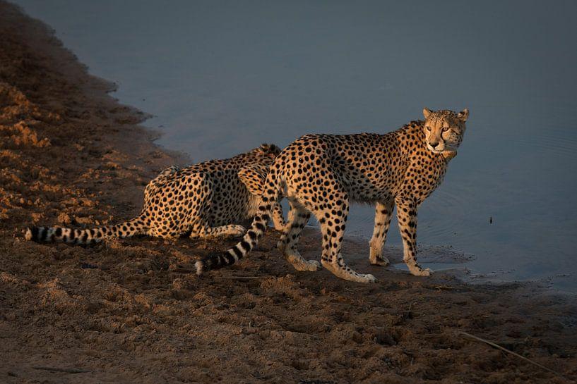 Cheeta's / Jachtluipaarden @ Entabeni Game Reserve Zuid Afrika van Capture the Light
