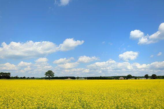 Geel koolzaadveld in de zomer met een blauwe lucht