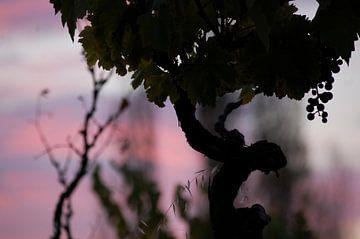 Druiven van el Maule van Suzanne Roes