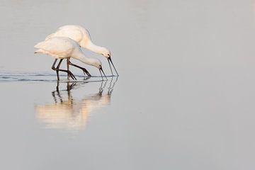 Vogels | Lepelaar ouder en jong Oostvaardersplassen van Servan Ott