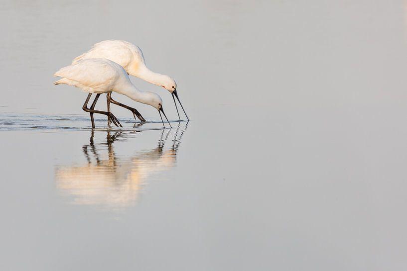 Vogels   Lepelaar ouder en jong Oostvaardersplassen van Servan Ott