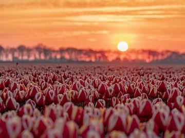 rode tulpen bij zonsopkomst van Chris Es, van