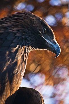 La tête de l'aigle royal, un regard menaçant, un bec recourbé, sur un fond flou de peinture d'automn sur Michael Semenov