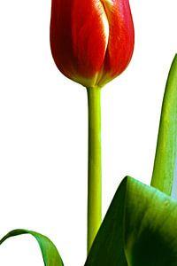 Rode tulp tegen een witte achtergrond van