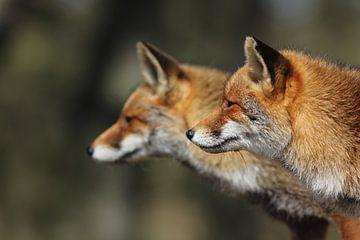 Twee vossen zij aan zij van Wiegert Steen
