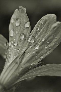 schwarze und weiße Blume von Shutterbalance