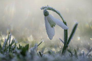 Snowdrop sur Gonnie van de Schans
