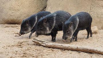 Halsbandpekari : Koninklijke Burgers' Zoo van Loek Lobel