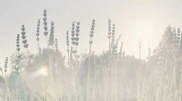 Lavendel im Sonnenlicht - Gemälde von Schildersatelier van der Ven