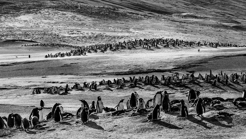 """Gentoo Penguins at """"The Neck"""" van Claudia van Zanten"""