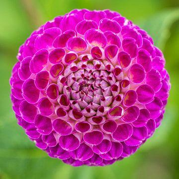 Dahlia bloem in bloei. van Joost Potma