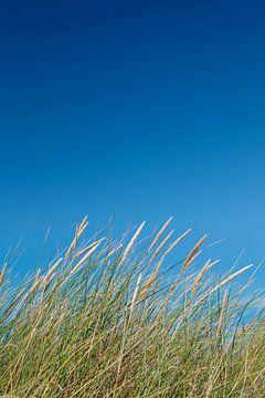 Strandhafer vor blauem Himmel, Sylt, Nordfriesland, Schleswig Holstein, Deutschland von Markus Lange
