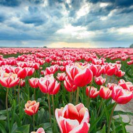 Tulipes rouges et roses en fleurs dans un champ sur Sjoerd van der Wal