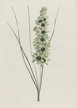 Afrikaanse iris (Ixia maculata viridis) van Hendrik Schwegman