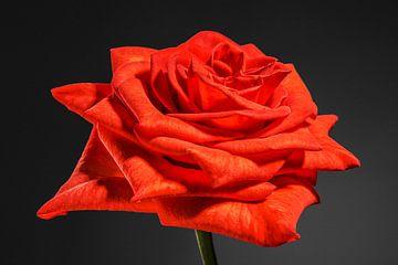 Oranje, rode roos von Nicole Jagerman
