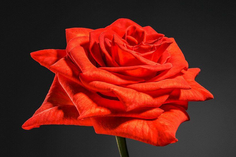 Oranje, rode roos van Nicole Jagerman