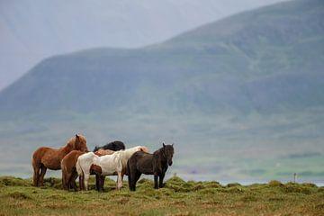 IJslandse Paard van Menno Schaefer