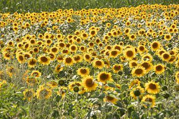 zonnenbloemenveld van Eric van Nieuwland
