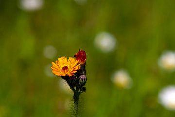 Orangefarbene Blüte auf der Wiese von Flowers by t.ART