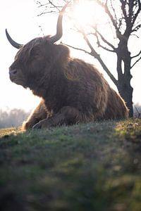 Schotse Hooglander rust uit in de lentezon