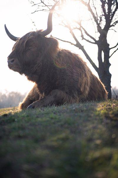 Schotse Hooglander rust uit in de lentezon van Thom Brouwer