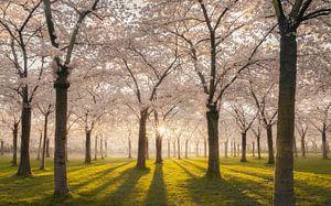 Blossom park white
