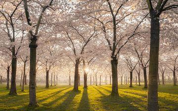 Blossom park white von Rob Visser