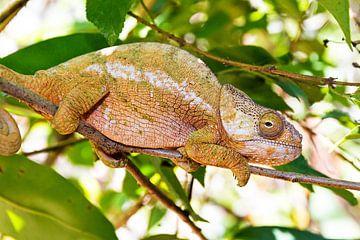 Parsons kameleon Madagaskar von Dennis van de Water