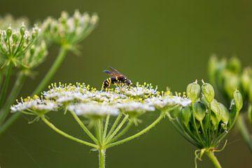 Tenthredo marginella sitzt im Sommer auf einer weißen Blume von Carola Schellekens