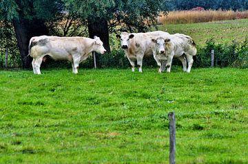 Kuh Belgisch weiß-blau