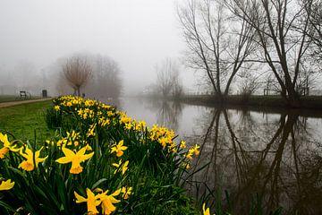 Narcissen tijdens mist langs de Kromme Rijn van