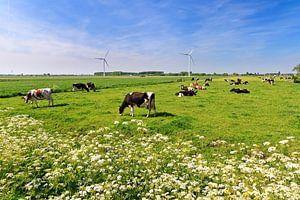 Koeien in de wei in de lente met een blauwe lucht