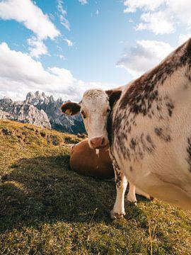Koe in de Italiaanse Dolomieten met de bergen op de achtergrond van Michiel Dros