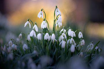 Snowdrop family von Christl Deckx