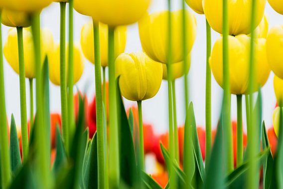 Gele tulpen, prachtige close up