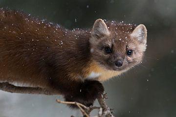 boommarters / sparrenmarters ( Martes americana ) in sneeuwval van wunderbare Erde