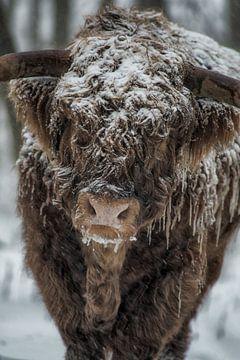 Schottische Hochlandkuh im Winter von Robin van Maanen