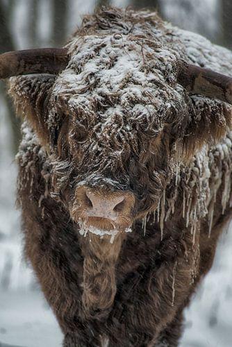 schotse hoogland koe in de winter