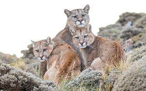 famille Puma sur Lennart Verheuvel