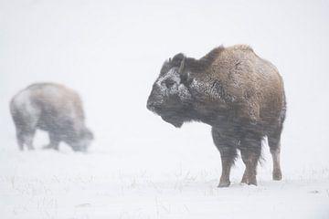 Amerikaanse bizon ( Bison bison ) trotseren een sneeuwstorm, in een sneeuwstorm, wilde dieren, Yello van wunderbare Erde