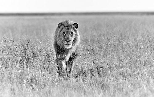 männlicher Löwe patrolliert durchs Revier von Jürgen Ritterbach