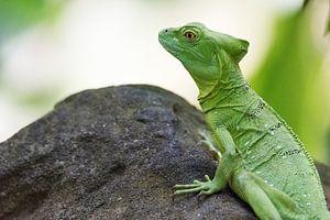 Groene basilisk