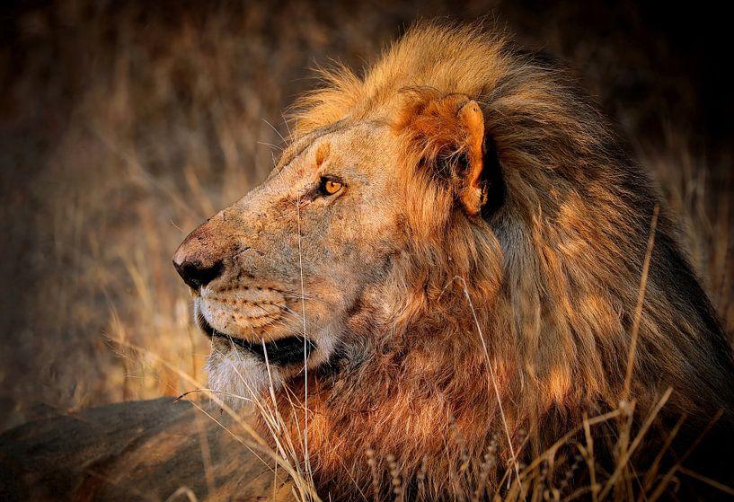 Leeuwen in het wild in Zuid-Afrika van W. Woyke