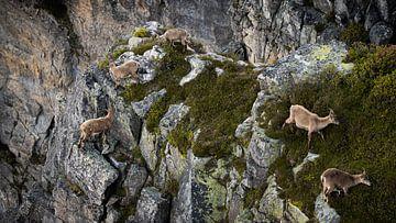 Steenbokken op een klif van Lars Korzelius