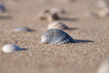 Schelp op het strand van