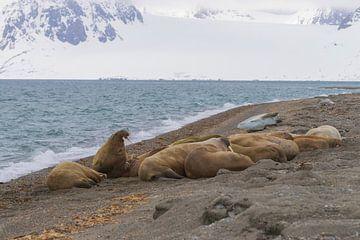 Walrussen in het zand op Spitsbergen van Merijn Loch
