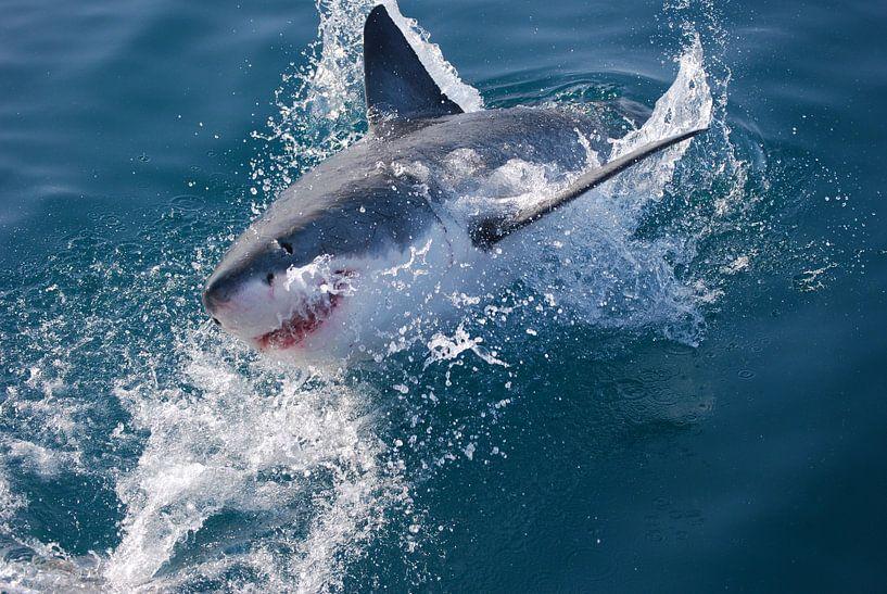 Witte haai (Carcharodon carcharias) van Frank Heinen